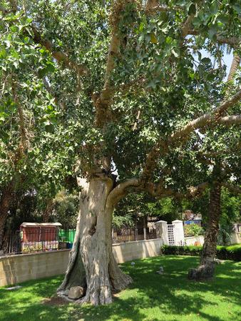 sicomoro: Sycamore a Gerico, il luogo biblico in cui Zaccheo ha incontrato Gesù