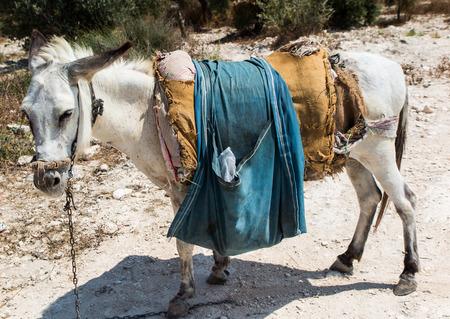the holy land: The donkey saddled resting prepared for transport. Land biblical Holy Land, Sebastia in Samaria Stock Photo