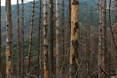 Withered coniferous forest in the mountainous terrain, Beskid Slaski Skrzyczne area, Poland