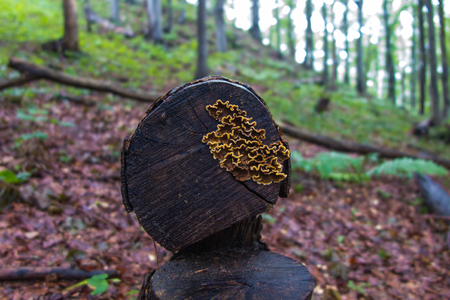 fallen tree: fruiting bodies of fungi arboreal during rainy weather in the Bieszczady National Park in Poland
