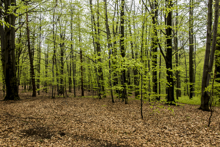 Beech forest in spring with young, green leaves as a background Stock Photo