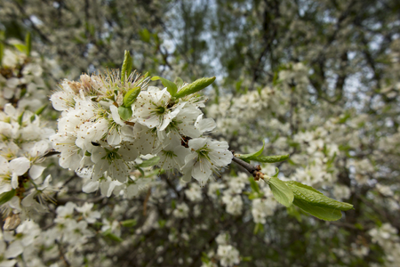 white blackthorn flowers a sign of spring