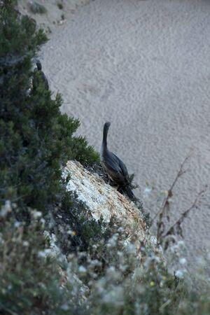 large birds similar to cormorants cormorants sitting on coastal rocks in the Calella area of Spain