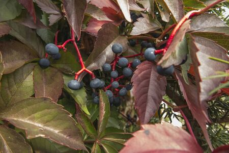 Blue fruits of wild grapes on a red branch in the autumn garden.