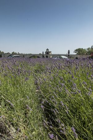 Lavender field and in the background a historic bridge in Avignon, France