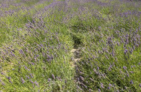 Lavender field in Avignon, France as a backdrop