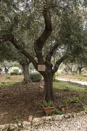 Old olive trees in the garden of Gethsemane, Jerusalem in Israel. Tree planted by Pope Paul VI