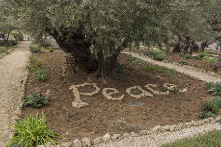 Old olive trees in the garden of Gethsemane, Jerusalem in Israel