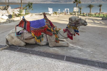 camel with glasses, rented for rides, waiting for those willing, on the beach of the Dead Sea in Israel