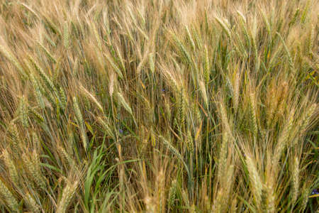 not completely ripe ears of grain, mainly barley as a background,