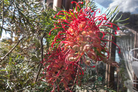 Large shrub with large, blood red flowers throughout the year. One of the original grevilleas and the parent of many hybrid grevilleas.