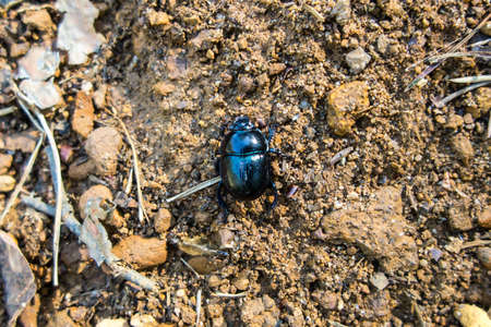 Forest beetle (Anoplotrupes stercorosus) - a species of dung beetle and the subfamily Geotrupinae. 版權商用圖片