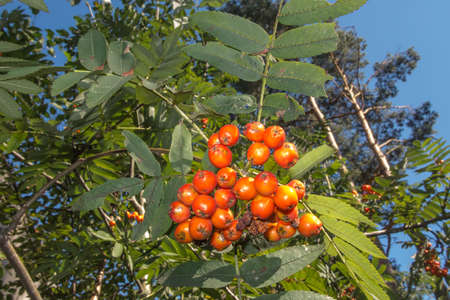 rowan branch with red ripening fruits