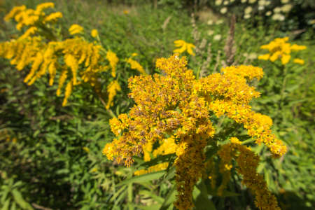 yellow-blooming goldenrod, also known as mimosa, herb flower announcing the arrival of autumn