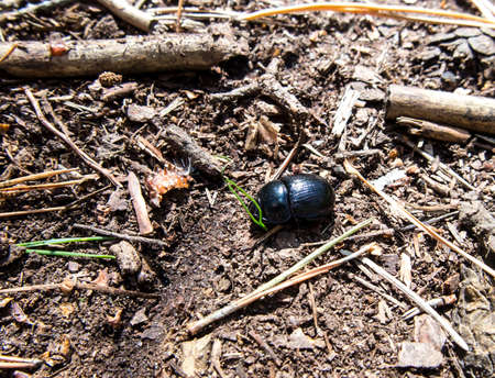 Forest beetle (Anoplotrupes stercorosus) - a species of dung beetle and the subfamily Geotrupinae. Standard-Bild