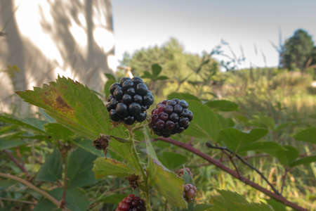 wild blackberry fruits forming thickets near the forest and meadows