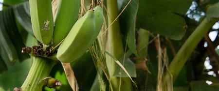 Cultivated banana Pisang Awak tree