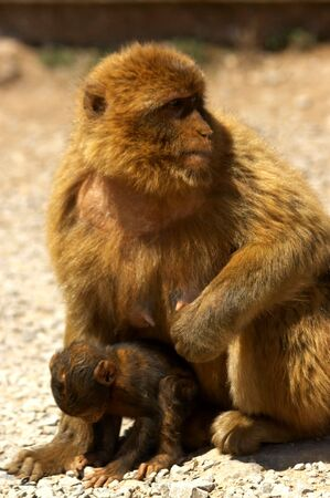 arma: mother monkey and raises
