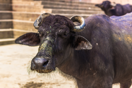 god's cow: October 31, 2014: A black bull in the Ghats of Varanasi, India