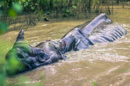nepali: Indian Rhino bathing in Chitwan National Park, Nepal