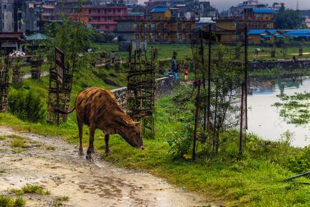 pokhara: Cow in Pokhara, Nepal Stock Photo