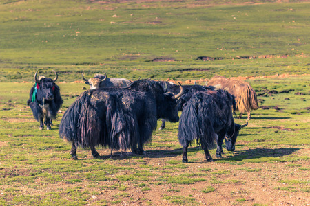 August 16, 2014 - Yaks in the countryside of Tibet