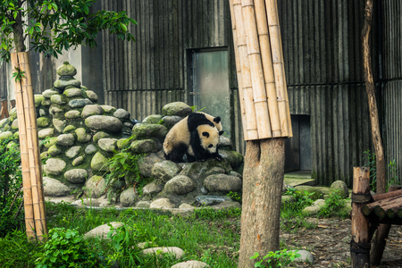 Chengdu, China - August 10, 2014: Panda Research center in Chengdu, China Editorial