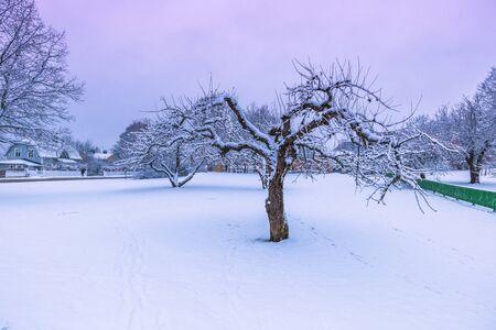 sweden winter: December 10, 2016: A frozen tree in Sigtuna with snow in winter, Sweden
