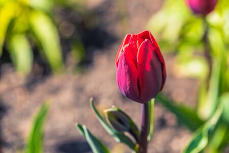 Odense, Denmark - April 29, 2017: Red tulip flower Stock Photo