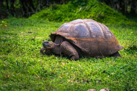 갈라파고스 군도 - 2017 년 7 월 22 일 : 산타 크루즈 섬의 엘 Chato 준비 제도 이사회에서 거대한 거북이 에디토리얼