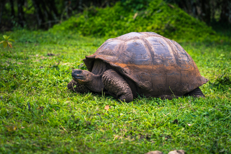 Galapagos Islands - July 22, 2017: Giant Tortoise in the El Chato reserve of Santa Cruz Island