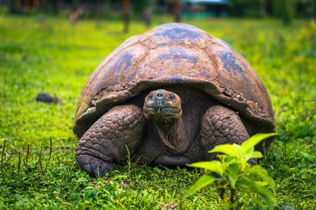 Galapagos Islands - July 22, 2017: Giant Tortoise in the El Chato reserve of Santa Cruz Island