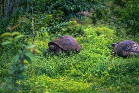 Galapagos Islands - July 22, 2017: Giant Tortoises in the El Chato reserve of Santa Cruz Island