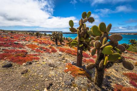 ガラパゴス諸島-8 月24日、2017: プラザ・シュル・アイランドの風土病サボテン、ガラパゴス諸島、エクアドル