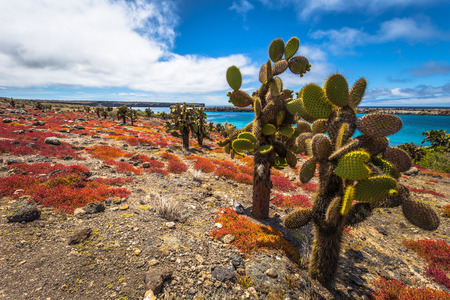 sur: Galapagos Islands - August 24, 2017: Endemic cactuses in Plaza Sur island, Galapagos Islands, Ecuador