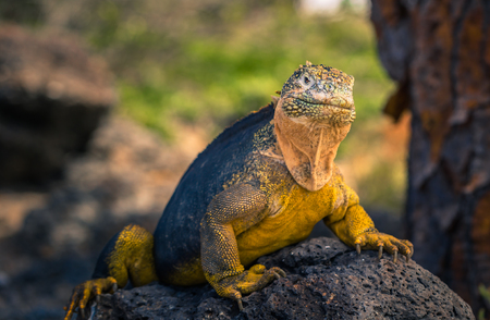 sur: Galapagos Islands - August 24, 2017: Endemic Land Iguana in Plaza Sur island, Galapagos Islands, Ecuador
