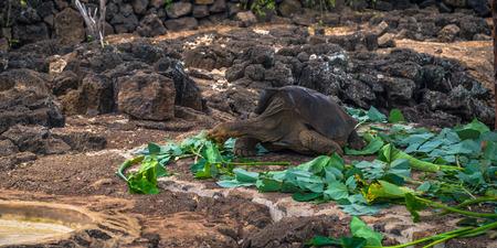 Galapagos Islands - August 23, 2017: Giant land Tortoises in the Darwin Research Center in Santa Cruz Island, Galapagos Islands, Ecuador