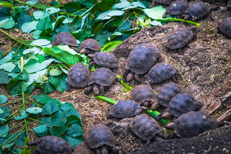 Galapagos Islands - August 23, 2017: Baby Giant land Tortoises in the Darwin Research Center in Santa Cruz Island, Galapagos Islands, Ecuador