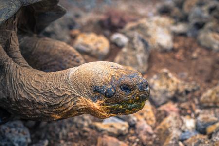 Galapagos Islands - August 23, 2017: Giant land Tortoise in the Darwin Research Center in Santa Cruz Island, Galapagos Islands, Ecuador