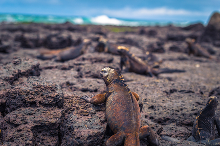 Galapagos Islands - August 23, 2017: Marine Iguanas in Tortuga Bay in Santa Cruz Island, Galapagos Islands, Ecuador Editorial