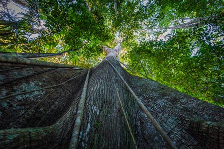マヌー国立公園、ペルーのアマゾンの熱帯雨林でのマヌー国立公園、ペルー - 2017 年 8 月 7 日: 巨大なツリー