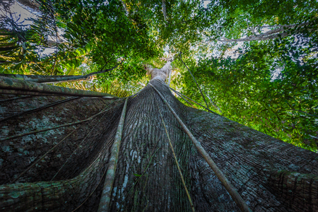 Manu National Park, Peru - August 07, 2017: Giant tree in the Amazon rainforest of Manu National Park, Peru Stock fotó - 89896025