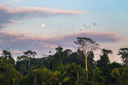 Large group of green parrots in the Amazon rainforest of Manu National Park, Peru Stock Photo