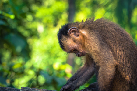 Manu National Park, Peru - August 11, 2017: Small Capuchin Monkey in the Amazon rainforest of Manu National Park, Peru