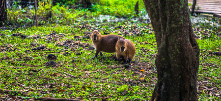 Capybaras at the Provincial Ibera park at Colonia Carlos Pellegrini, Argentina Imagens - 97740619