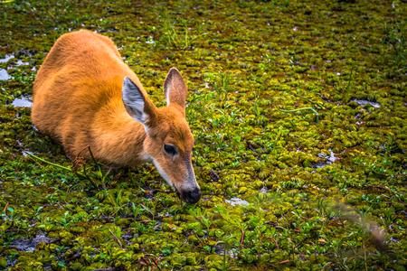 Colonia Carlos Pellegrini - June 28, 2017: Wild deer at the Provincial Ibera park at Colonia Carlos Pellegrini, Argentina