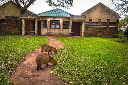 Colonia Carlos Pellegrini - June 28, 2017: Capybaras at the Provincial Ibera park at Colonia Carlos Pellegrini, Argentina Imagens - 97410829