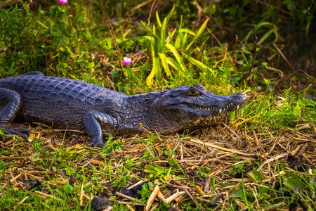 Colonia Carlos Pellegrini - June 28, 2017: Dark alligator at the Provincial Ibera park at Colonia Carlos Pellegrini, Argentina