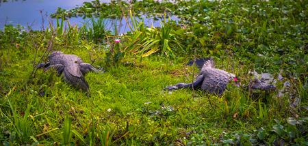 Colonia Carlos Pellegrini - June 28, 2017: Dark alligators at the Provincial Ibera park at Colonia Carlos Pellegrini, Argentina Imagens - 97418993