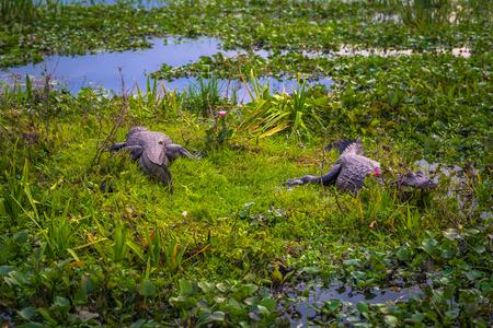 Colonia Carlos Pellegrini - June 28, 2017: Dark alligators at the Provincial Ibera park at Colonia Carlos Pellegrini, Argentina Imagens - 97357858